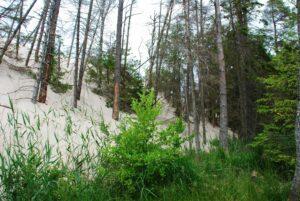 Ruchome Wydmy Łeba Roślinność i Las